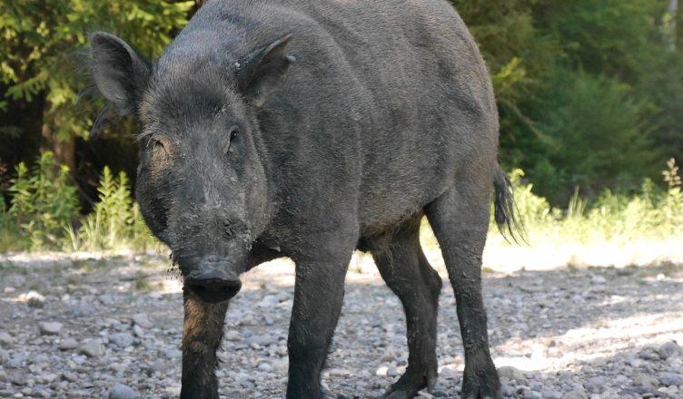 boar-854124_1280